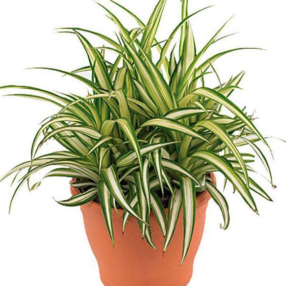 plantas purificam ar aranha