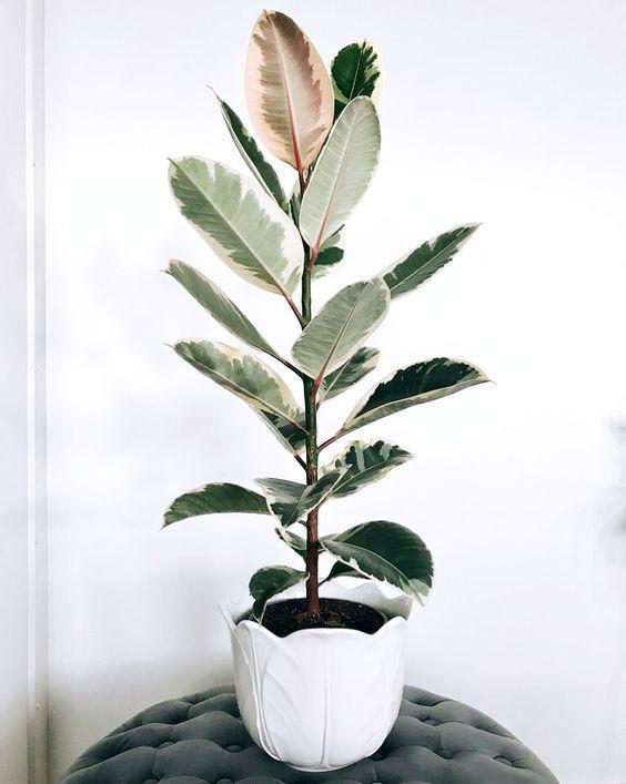 plantas purificam ar ficus